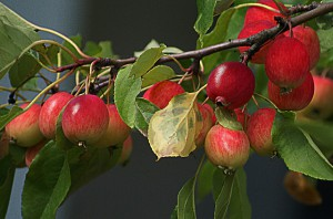 apples-404925_640