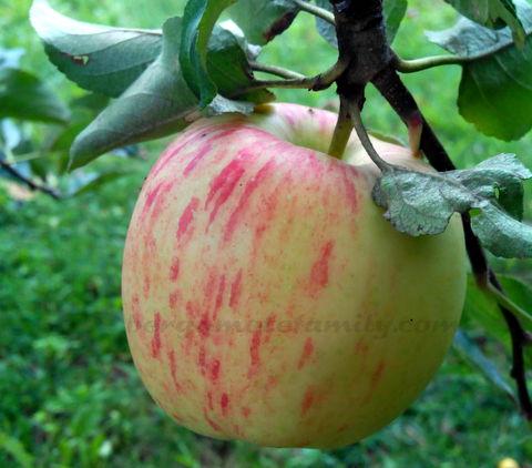 pomme de Mamie Bergamote
