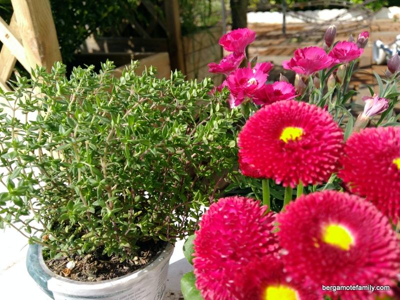 jardinage botanic - bergamote family (4)